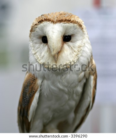 Barn Owl (tyto albo)- Shallow Depth of Field, focus on face - stock photo