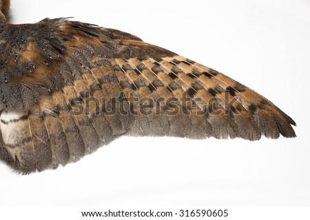 Barn Owl, Tyto guttata, Wing isolated on white - stock photo