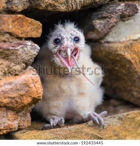 Barn Owl young bird - stock photo