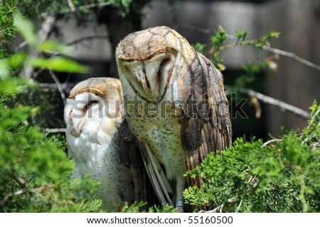 Barn Owls Sleeping by Day - stock photo
