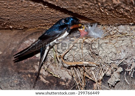 Barn Swallow feeding chicks in the nest