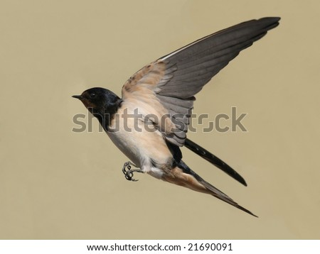 barn swallow in flight with outspread wings - stock photo