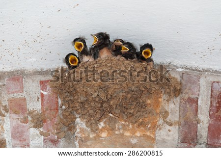 Barn swallow nest with six hungry nestlings - stock photo