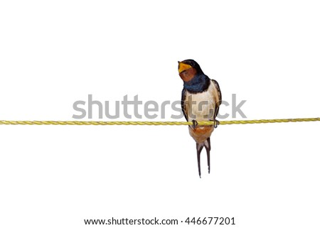 Barn swallow or European swallow (Hirundo rustica) sitting on the rope and making noise - stock photo