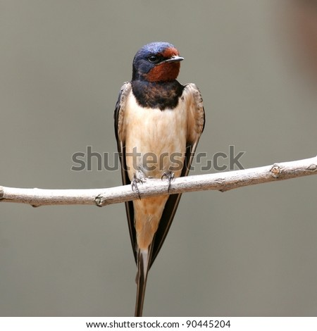 Barn swallow perched on a twig - stock photo