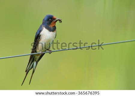 Barn Swallow sitting on the wire with green background. - stock photo
