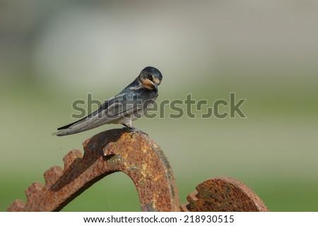 Barn swallowBarn swallow - stock photo