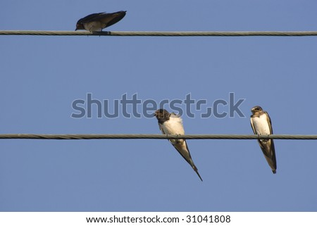 Barn Swallows (Hirundo rustica) on two electricity wires - stock photo