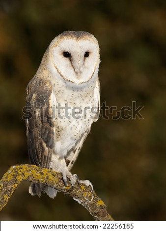 Barn (Tyto alba) owl posing on branch - stock photo