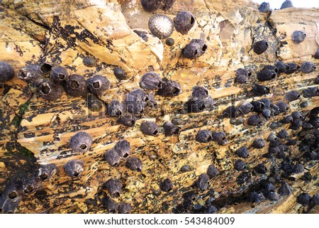 Barnacle fouling on rocky shore