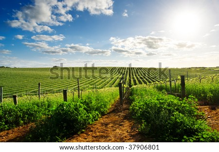 Barossa Valley vineyard in the spring - stock photo