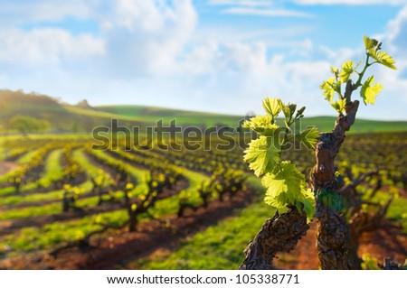 Barossa Valley vineyard, Seppeltsfield South Australia - stock photo