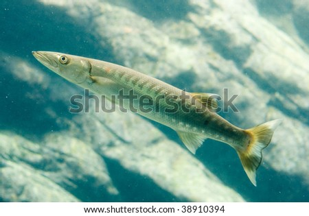 Barracuda fish in open water - stock photo