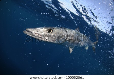 Barracuda fish underwater with sky