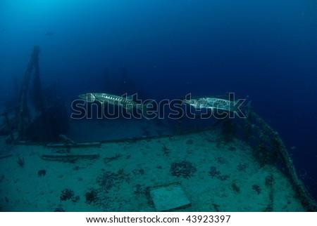 Barracudas - stock photo