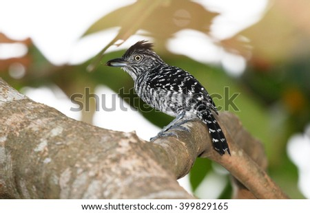 Barred Antshrike male perched on a tree branch with an ant in his beak