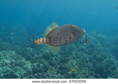 Barred Filefish - stock photo