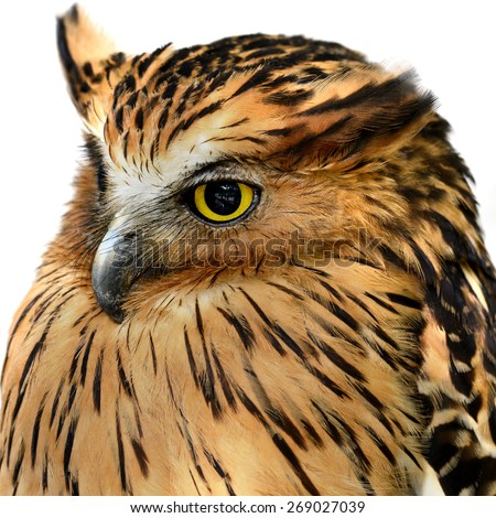 Barred Owl eyes face close-up isolated on white Backgrounds (Spotted Wood Owl Group)