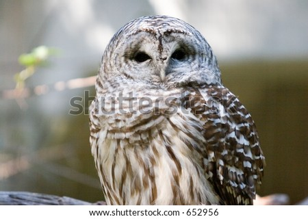 Barred Owl: Eyes wide for this close-up shot