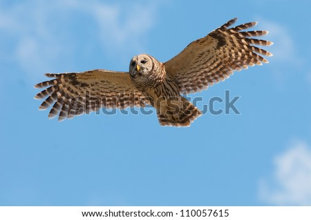 Barred Owl in flight against a blue sky with light clouds