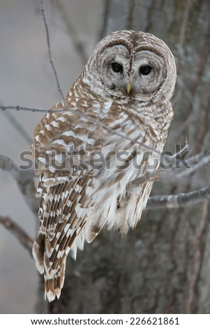 Barred owl in the forest in winter.  Hunting.  Looking at camera. - stock photo