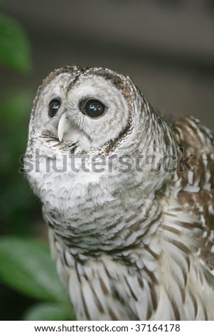Barred Owl inflating throat while hooting