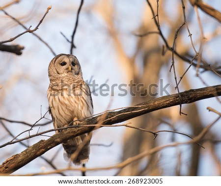 Barred owl perched in a tree at sunrise and calling in the woods in midwest United States. - stock photo