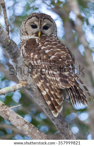 Barred Owl Perched on Branch and Watching Intently  - stock photo
