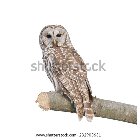 Barred Owl sitting on a branch isolated on white - stock photo