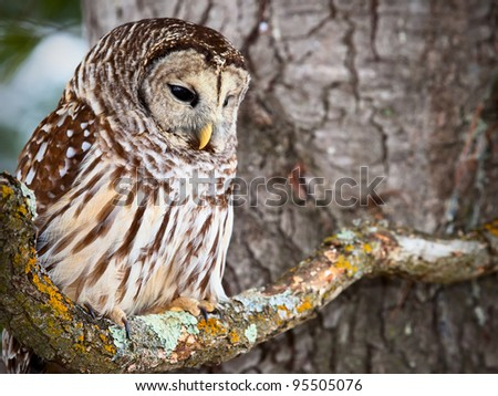 Barred owl sitting on a lichen covered branch