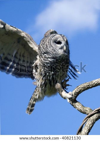 Barred Owl (Strix Varia) flaps it's wings as it comes in for a landing on a tree branch.