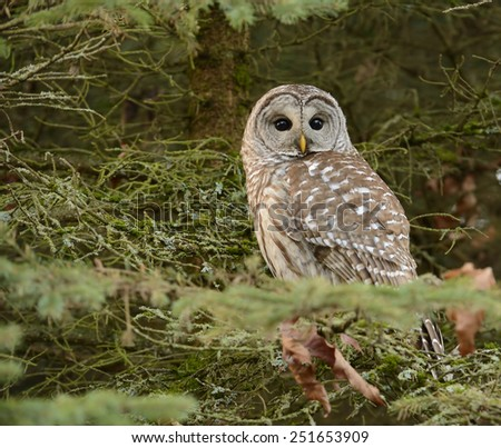 Barred owl (Strix varia) on a branch of a small evergreen tree photographed at dusk in winter in Seattle, Washington. Reflections of trees against the sky can be seen in the eyes of the owl.  - stock photo