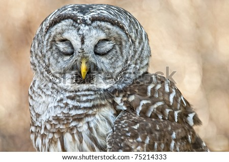 Barred Owl with Closed Eyes - Feathers Covering Eyelids - stock photo