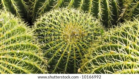 Barrel Cactus Tucson, Arizona - stock photo