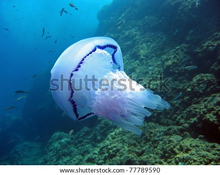 Barrel jellyfish, Rhizostoma pulmo, with fish and rock in background, Mediterranean sea, Azure coast, French riviera, Var, France - stock photo