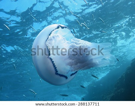 Barrel jellyfish with school of fish and water surface in background , Mediterranean sea, Azure coast, French riviera, Var, France - stock photo