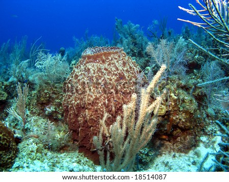 Barrel Sponge on a Caribbean Reef in the Cayman Islands