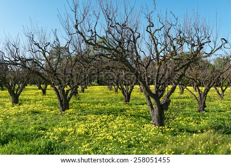 Barren fruit trees and spring flowers, Sunnyvale, California - stock photo