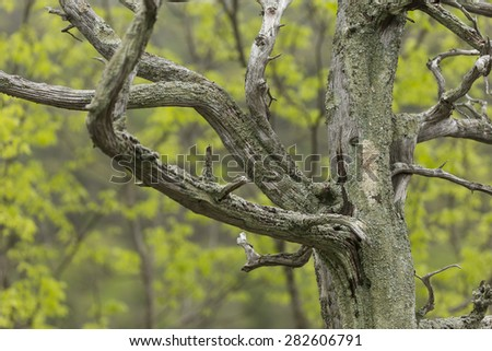 Barren Tree In Spring - stock photo