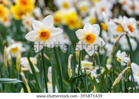 Barret browning white daffodils with background of yellow daffodils in daffodils flowerbed in the field at the garden at the daylight - stock photo