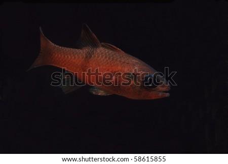 Barspot Cardinalfish, Apogon retrosella, Night Dive in Sea of Cortez, Mexico - stock photo