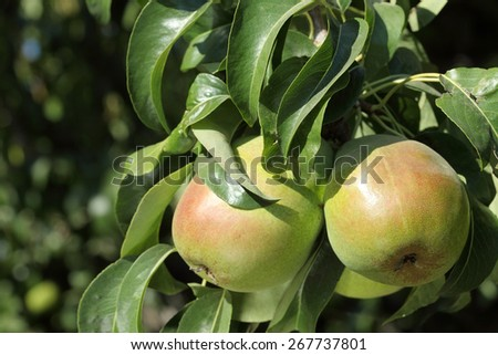 Bartlett pears on the tree in a Washington orchard - stock photo
