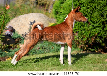 Baseni standing to attention - stock photo