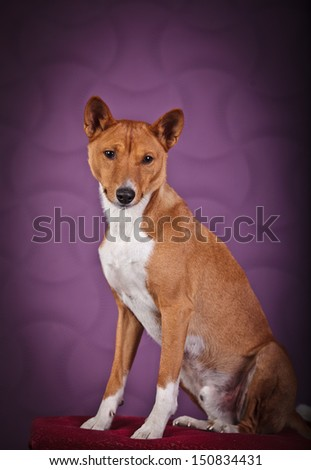 Basenji, an African dog in the interior