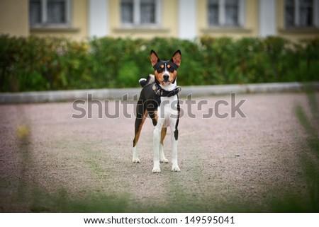 basenji dog in nature - stock photo