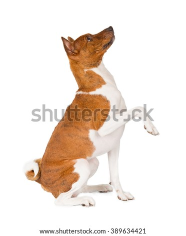 Basenji dog isolated on white background. Side view, begging