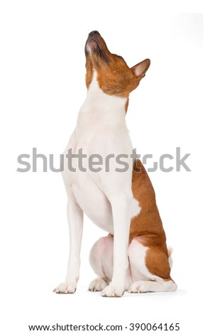 Basenji dog isolated on white background. Side view, look up