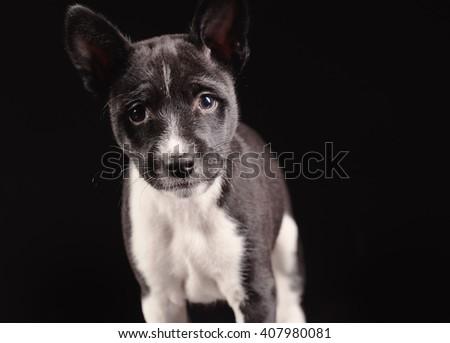 Basenji dog puppy isolated over black background - stock photo