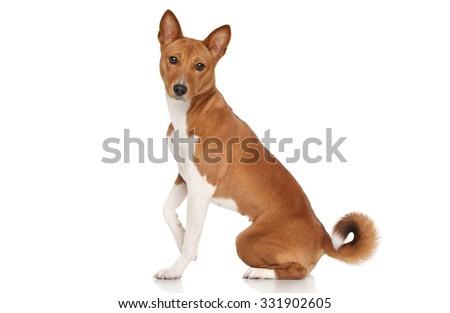 Basenji dog sits in front of white background - stock photo