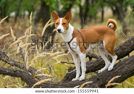 Basenji dog - troop leader on the tree branch looking into the distance  - stock photo